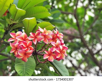 The beautiful frangipani flowers (red paucipan, red-jasmine, temple tree, plumeria) in the garden. Plumeria rubra is a popular garden and park plant.