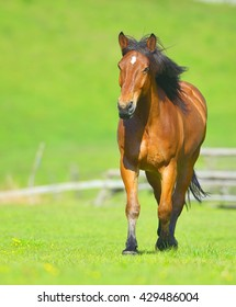 Beautiful free chestnut horse trotting at the field