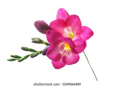 Beautiful freesia flower on white background