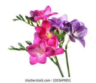 Beautiful freesia flowers on white background