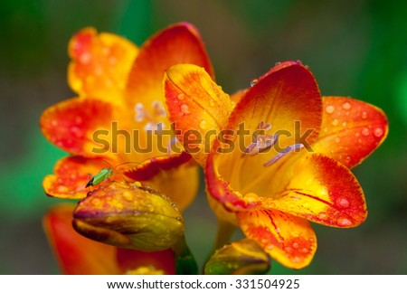 Beautiful freesia flowers with water drops and green insect on it close up.