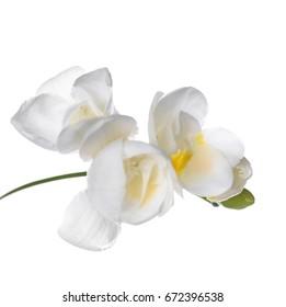 Beautiful freesia on white background