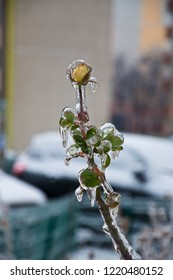 Beautiful freeze rose bush with icy yellow rose and small leaves covered with transparent ice and icicles. Frozen yellow rose flower. Winter scene in Odessa Ukraine. Icy weather. Frosty winter