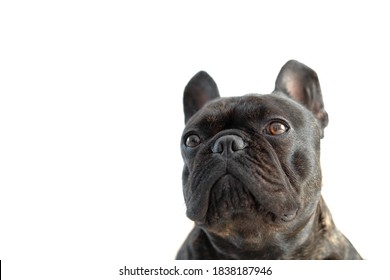 Beautiful French Bulldog. Close-up of the French bulldog's muzzle isolate. muzzle isolated on white background. the emotion of a disgruntled dog. The bulldog turned away from the camera.