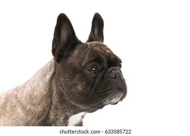 Beautiful french bulldog dog isolated on white background