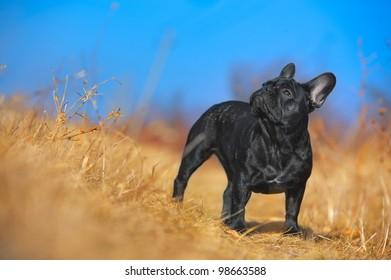 Beautiful french bulldog puppy