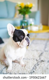 Beautiful French bulldog sits at home on the carpet. Pets at home. Black and white french bulldog