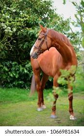Beautiful French warmblood horse