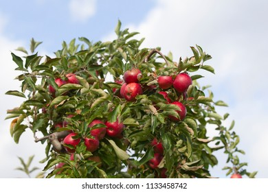 Beautiful Fresh Apples ready to mharvest in trees