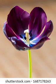Beautiful fresh black tulip in spring time. Dark tulip with petals and visible stigma and stamen with pollen grains