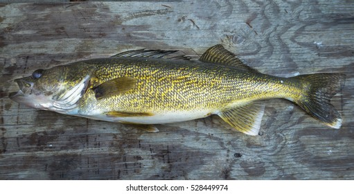Beautiful fresh caught Minnesota lakes, Walleye Pike lying on a wooden boat bench seat, in the summer.