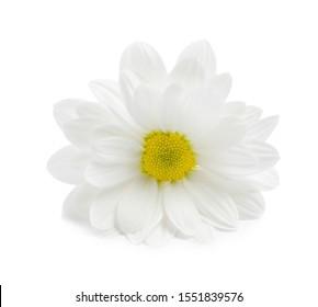 Beautiful fresh chamomile flower on white background