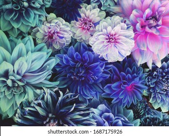 Beautiful fresh colorful blue, white and purple dahlia flowers in full bloom. Spring blossoms. Summer floral texture for background. Saturated blue color.