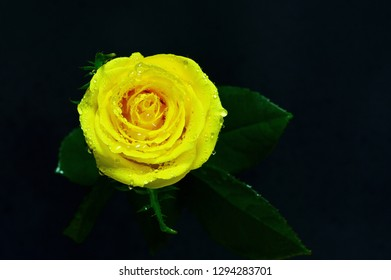 Beautiful fresh flower with dew on dark background, ideal for your botany projects