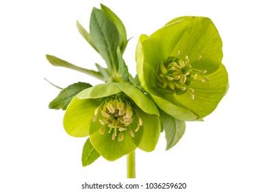 Beautiful fresh green hellebore (Helleborus odorus) bouquet, isolated on white background