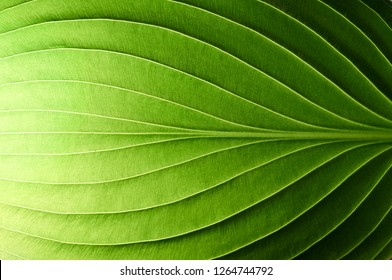 A beautiful fresh green leaf highlighted by the sun. The plant has a beautiful expressive structure.