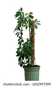 Beautiful fresh green Schefflera arboricola or Dwarf umbrella tree in green flowerpot isolated under sunlight on white at spring or summer season for background, design or your nature pattern concept.