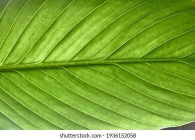 beautiful fresh green spathifyllum leaves macro close-up image