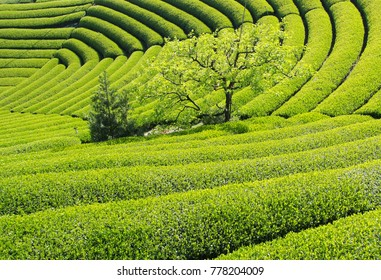 Beautiful fresh green tea plantation in a sunny day