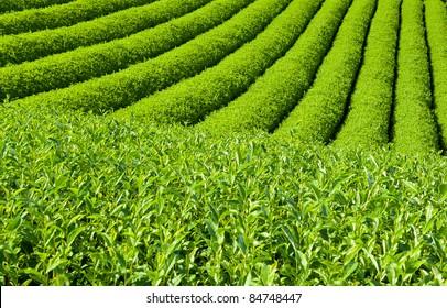 Beautiful fresh green tea plantation at Nihondaira, Shizuoka - Japan