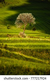 Beautiful fresh green terraced fields with tree and clouds shadow, Slovakia
