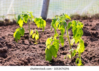 Beautiful fresh green young seedling of plants tomatoes in a bro