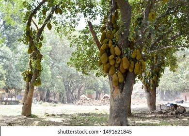 BEAUTIFUL FRESH JACKFRUIT TREE IN GARDEN IN INDIA