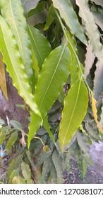 Beautiful Fresh leaves Of ASHOK TREE