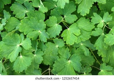Beautiful fresh leaves of columbine (Aquilegia vulgaris) as a natural background