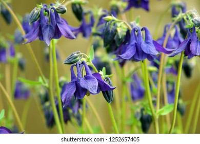 Beautiful fresh leaves and flowers of columbine (Aquilegia vulgaris) as a natural background