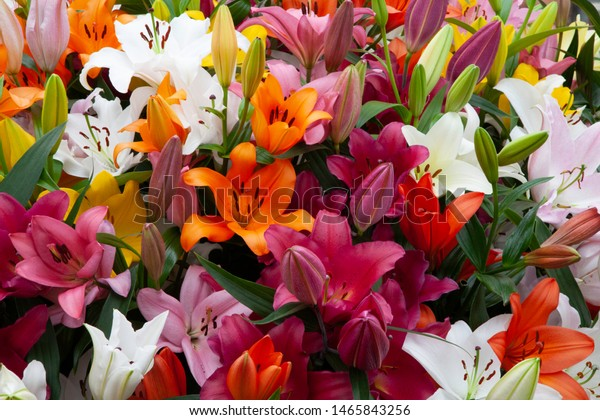 Beautiful fresh lilies in the colours orange, purple, red, white, pink and yellow in a diagonal line.