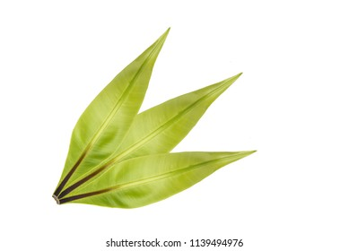 Beautiful fresh Long bright purple and orange leaves of a tropical plant isolated on white background.Croton leaf.