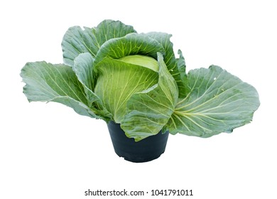 Beautiful fresh organic cabbage in the black pot isolated on white background. The healthy Food.