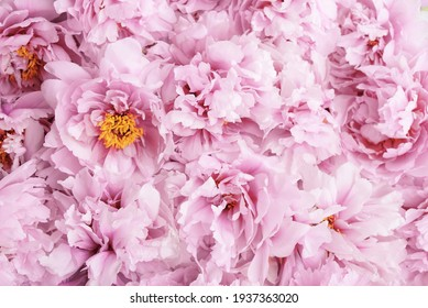 Beautiful fresh pink peony flowers in full bloom, close up, top view. Floral spring summer texture for background. Mother's day, Birthday, Valentine's day card. Blooming peonies. - Shutterstock ID 1937363020