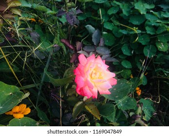 Hd Rose Flower Images Stock Photos Vectors Shutterstock