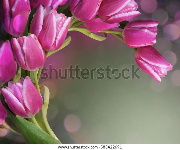 Beautiful fresh pink tulips.Beautiful greeting card.