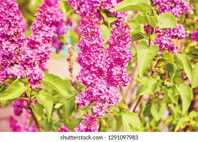 Beautiful fresh purple violet flowers. Close up of purple flowers. Spring flower, a branch of lilac. Lilac bush, lilac background.