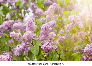 Beautiful fresh purple violet lilac