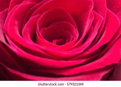 Beautiful fresh red rose
