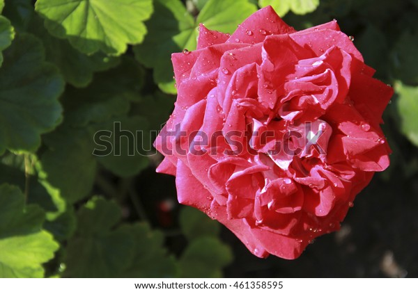 Beautiful fresh rose flower red color with dew drops in the garden close up selective focus blurred background