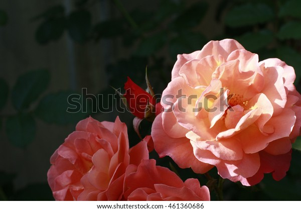 Beautiful fresh rose flowers light salmon color in the garden close up selective focus blurred background, greeting card
