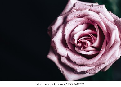 Beautiful fresh rose of pink color on a black background. Place for text. Photo for a greeting card.