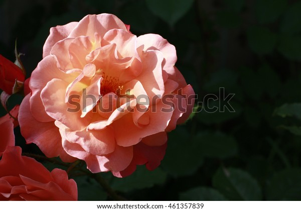 Beautiful fresh roses light salmon color in the garden close up selective focus blurred background, greeting card