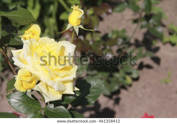Beautiful fresh roses light yellow color close up in the garden selective focus blurred background