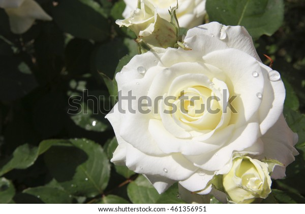 Beautiful fresh roses white color with dew drops in the garden close up selective focus blurred background, greeting card
