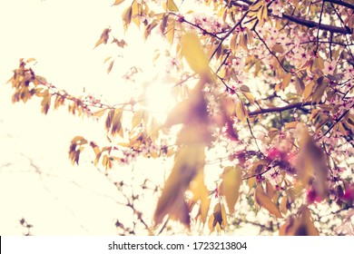 Beautiful and fresh spring backgrund with blurry light pink cherry blossom tree branches background
