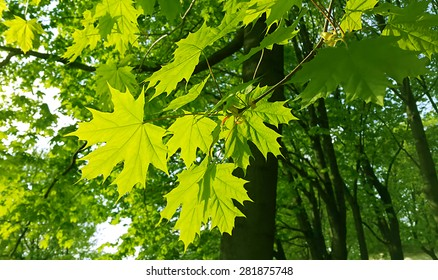 Beautiful fresh spring leaves of maple tree