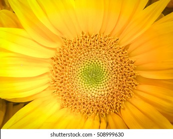Beautiful fresh sunflower natural background. Sunflower blooming. Close-up of organic sunflower.