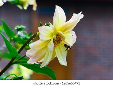 beautiful fresh yellow white Daliya flower with leaves in the garden. bee flying to flower background