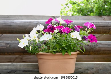 Beautiful freshness colorful petunia grandiflora flower white and pink violet peatals with green leaves growing and blooming in plastic pot hanging wooden wall .